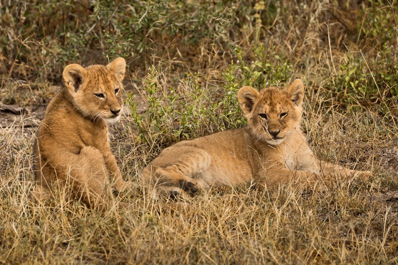 large_Lion_Cubs_88.jpg