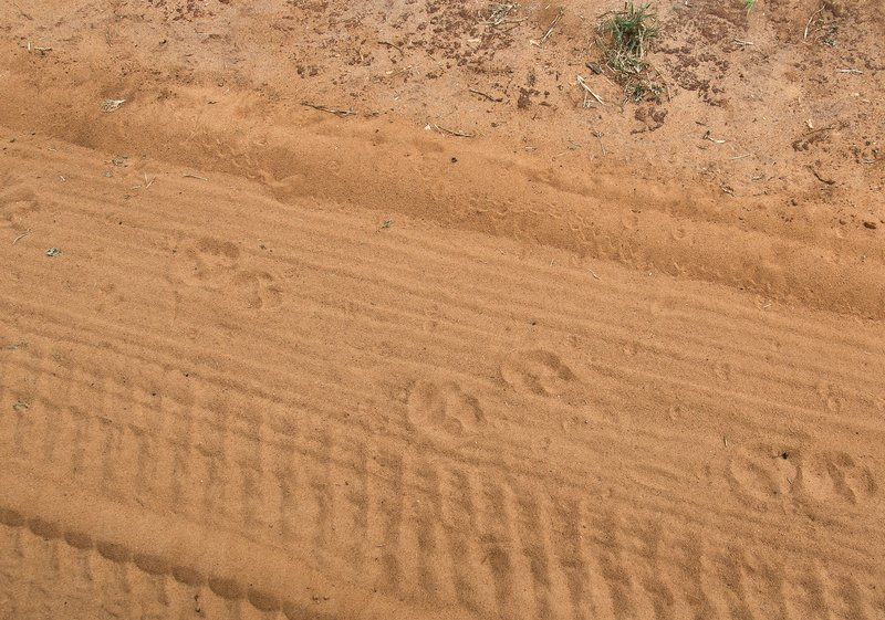 large_Lion_Footprints_5-1.jpg