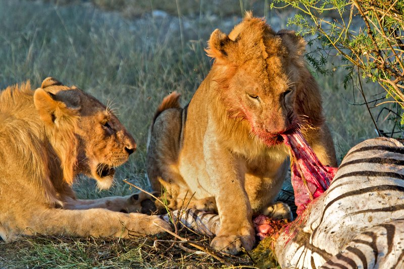 large_Lion_Kill_7-4.jpg