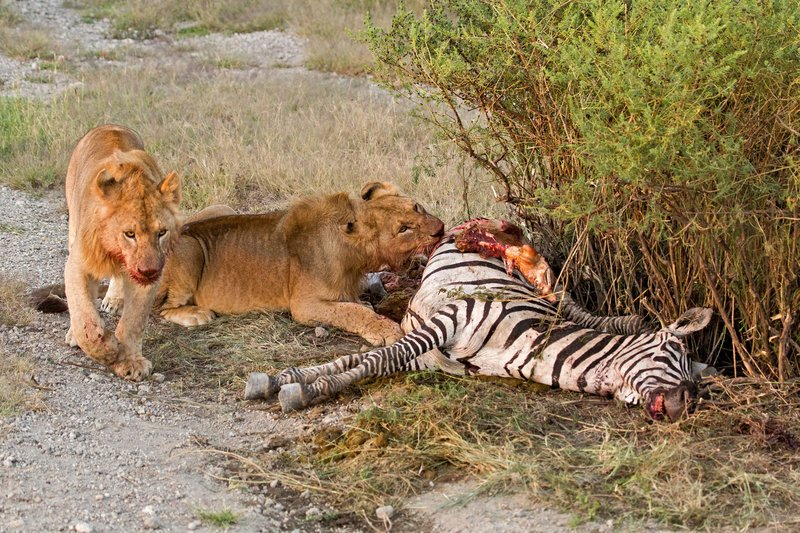 large_Lion_Kill_7-45.jpg