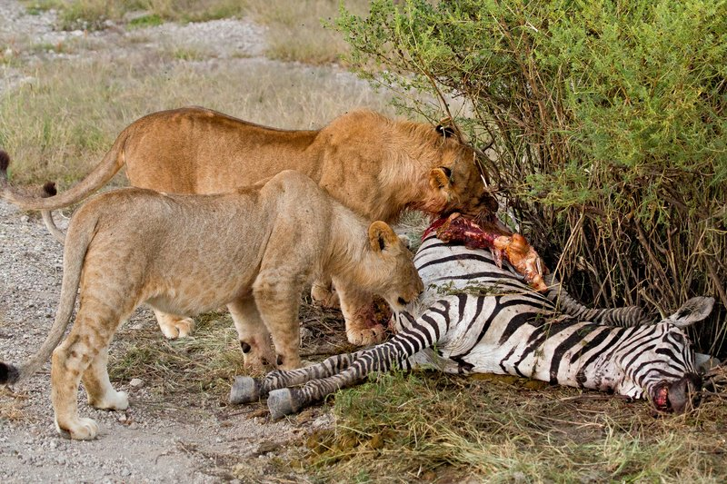 large_Lion_Kill_7-56.jpg