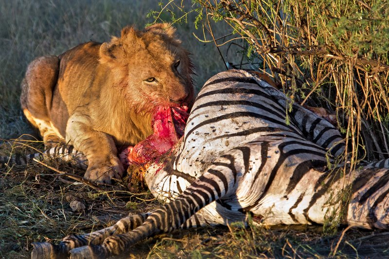 large_Lion_Kill_7-6.jpg