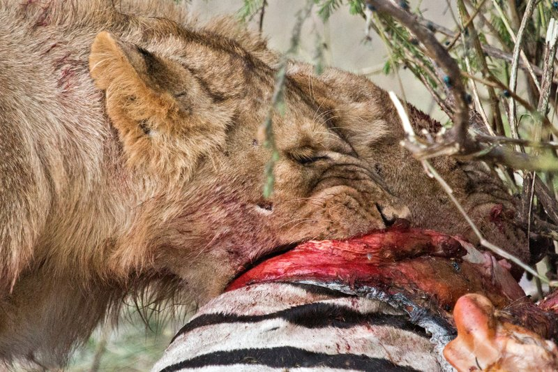 large_Lion_Kill_7-64.jpg