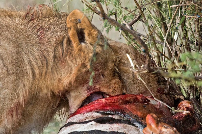 large_Lion_Kill_7-65.jpg