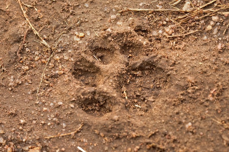 large_Lion_Paw_Print_1.jpg