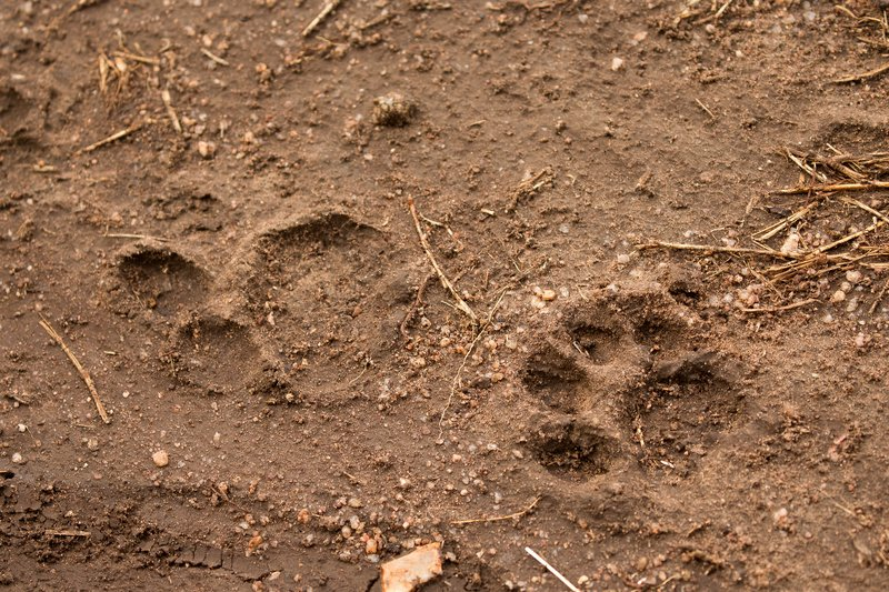 large_Lion_Paw_Print_2.jpg