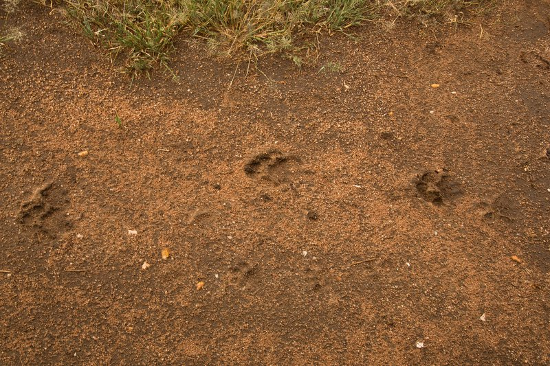 large_Lion_Paw_Print_3.jpg