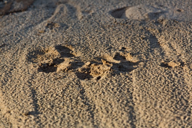 large_Lion_Paw_Prints_5-21.jpg