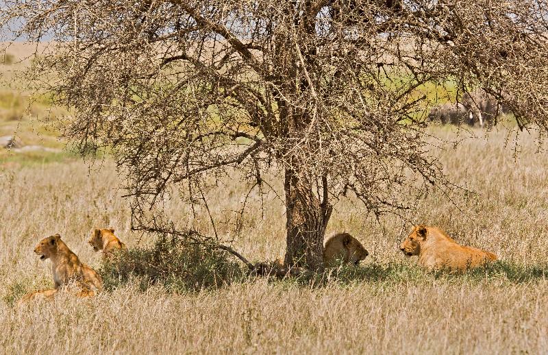 large_Lion_Traffic_Jam_3.jpg