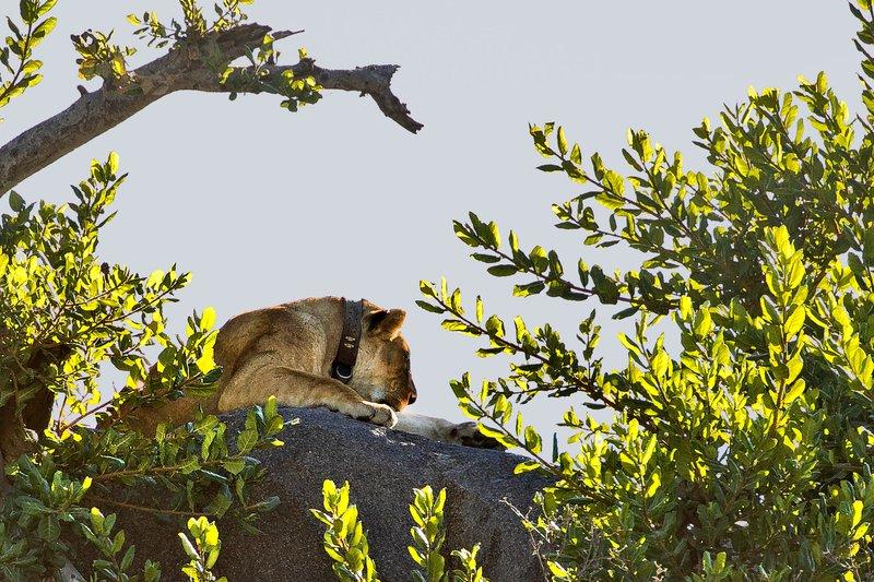 large_Lion__Maasai_Pride__1.jpg