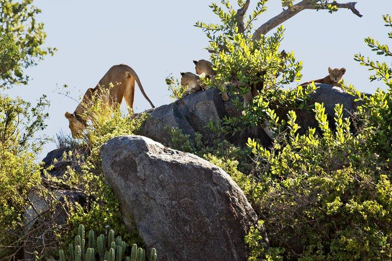 large_Lion__Maasai_Pride__12.jpg
