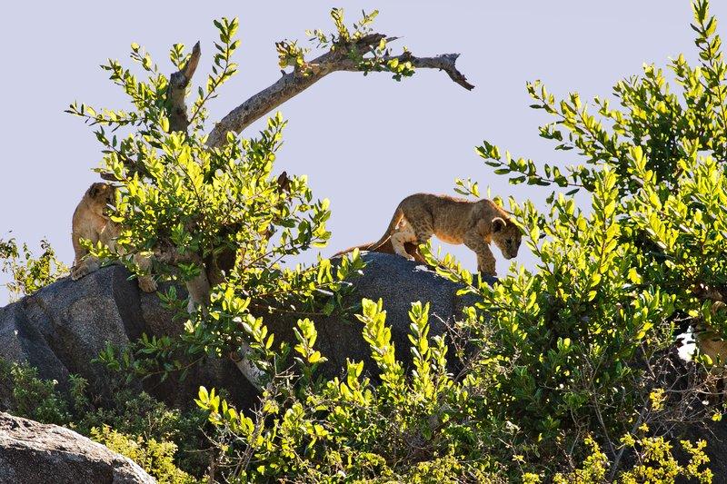 large_Lion__Maasai_Pride__13.jpg