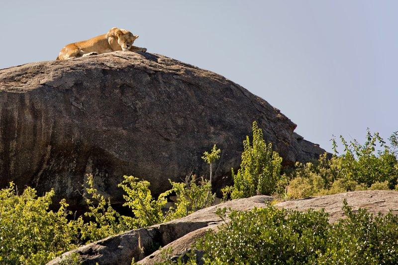 large_Lion__Maasai_Pride__18.jpg