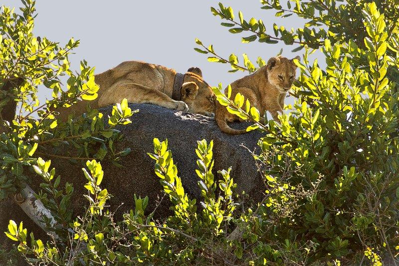 large_Lion__Maasai_Pride__5.jpg