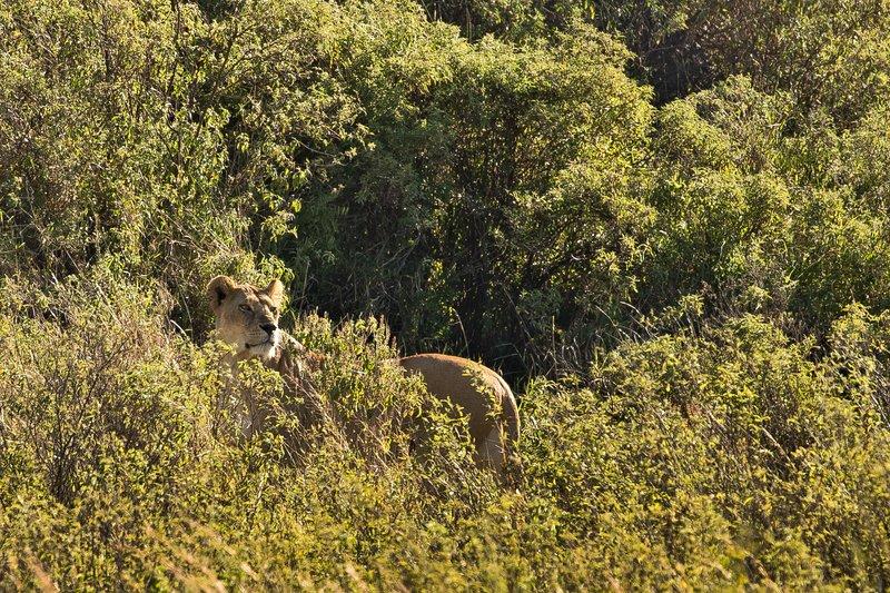 large_Lion__Maasai_Pride__7.jpg