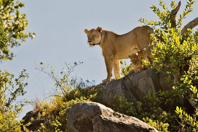 large_Lion__Maasai_Pride__8.jpg