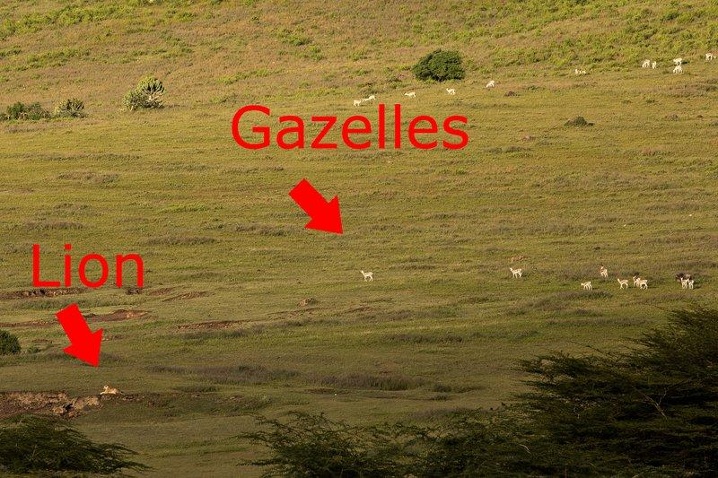 large_Lion_and_Gazelles_1A.jpg