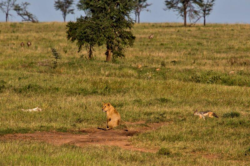 large_Lion_and_Jackal_10-1.jpg