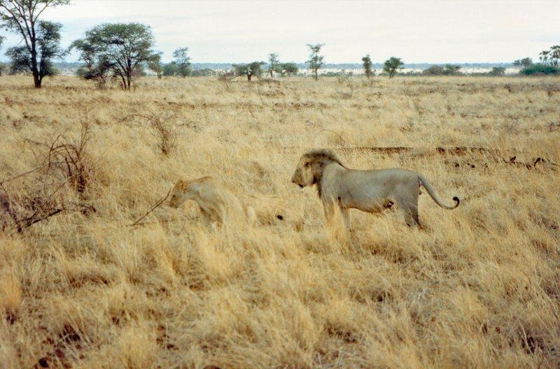 large_Lion_in_Me..rk______096.jpg