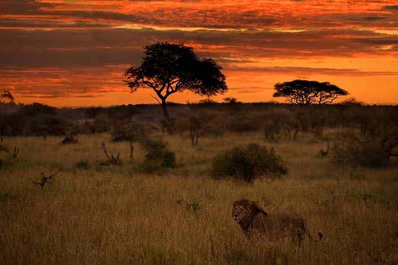 large_Lion_in_the_Sunrise_1.jpg