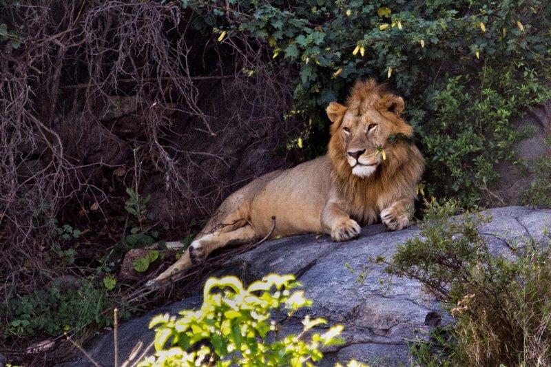 large_Lion_on_Simba_Kopjes_12-3.jpg