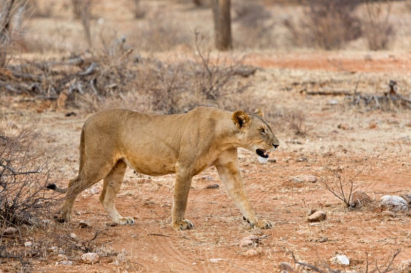 large_Lioness_with_Kill_3.jpg