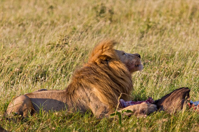 large_Lions_10-100.jpg