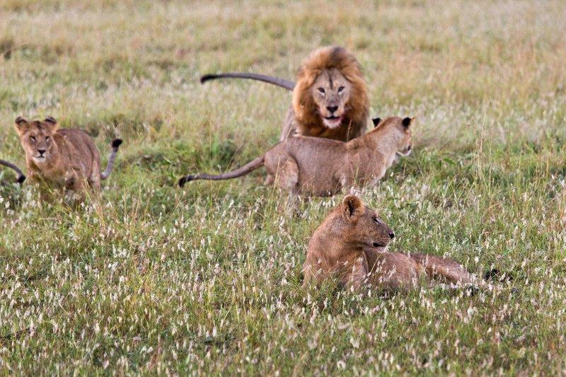 large_Lions_10-16.jpg