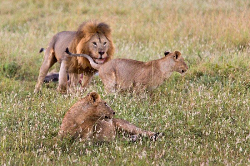 large_Lions_10-17.jpg