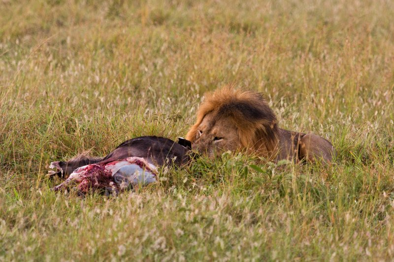 large_Lions_10-4.jpg