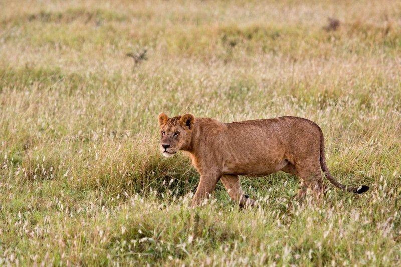 large_Lions_10-5.jpg