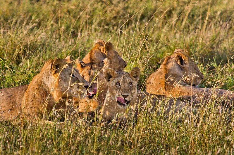 large_Lions_10-88.jpg