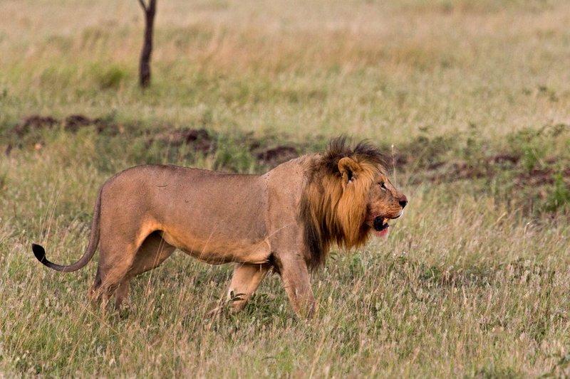 large_Lions_10-9.jpg