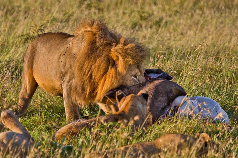large_Lions_10-91.jpg
