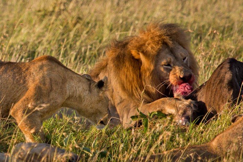 large_Lions_10-92.jpg