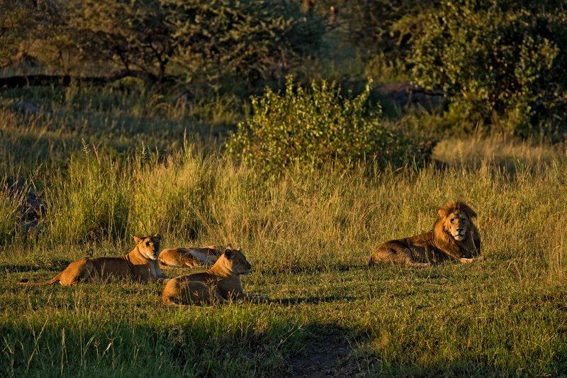 large_Lions_10.jpg