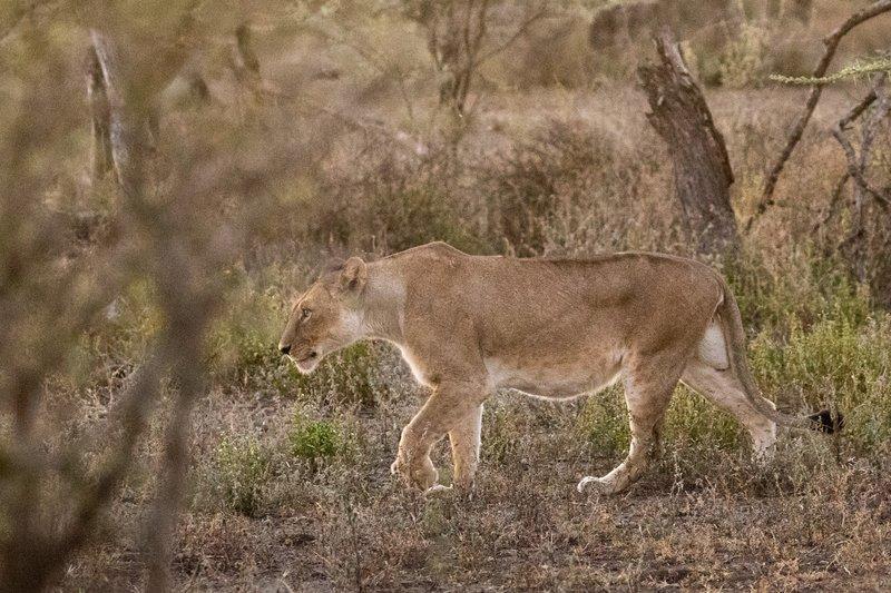 large_Lions_101.jpg