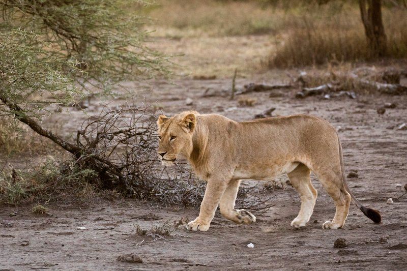 large_Lions_106.jpg