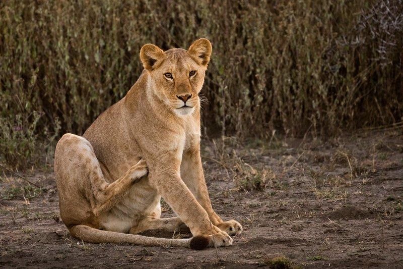 large_Lions_110.jpg