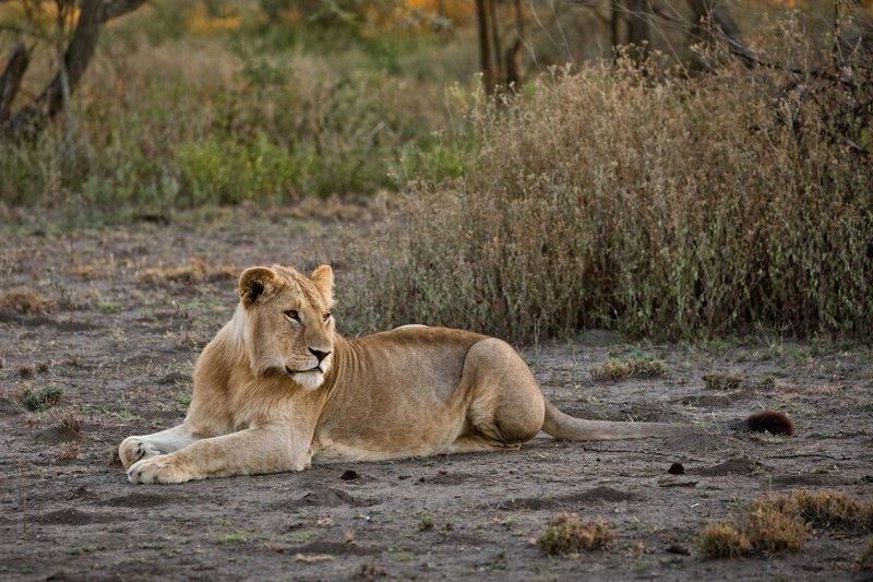 large_Lions_113.jpg