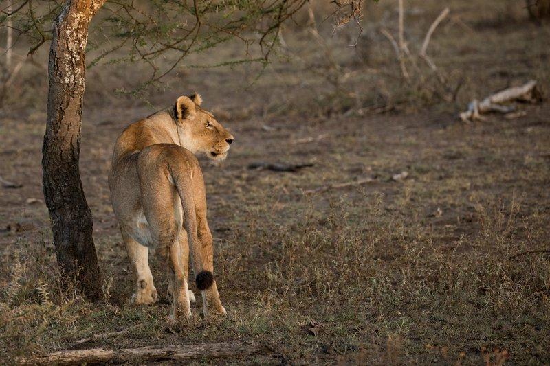 large_Lions_114.jpg