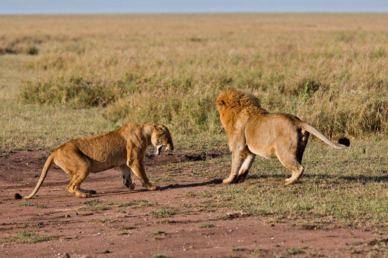large_Lions_12-10.jpg