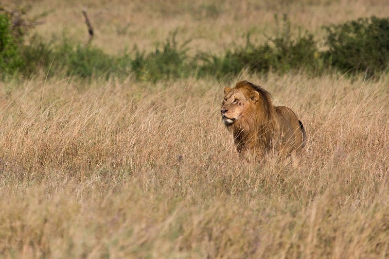 large_Lions_12-21.jpg