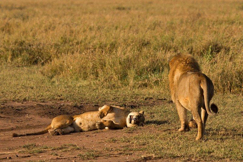 large_Lions_12-3.jpg