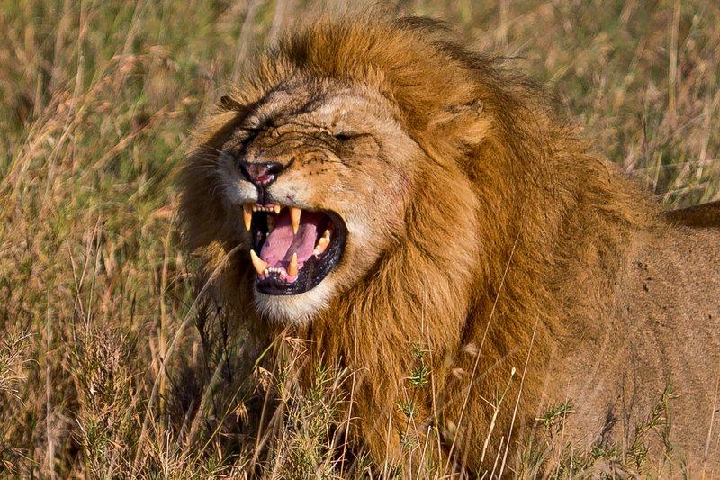 large_Lions_12-42.jpg