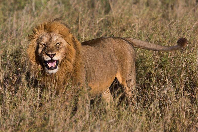 large_Lions_12-44.jpg