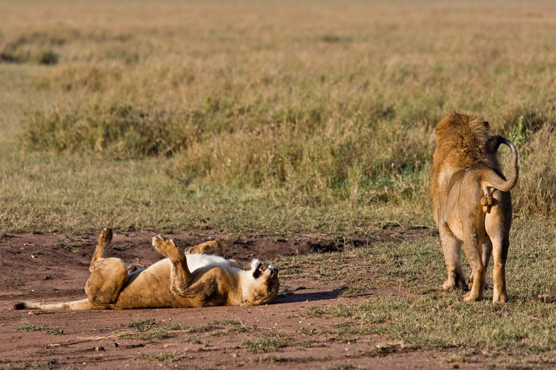 large_Lions_12-5.jpg