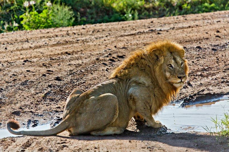 large_Lions_12-50.jpg