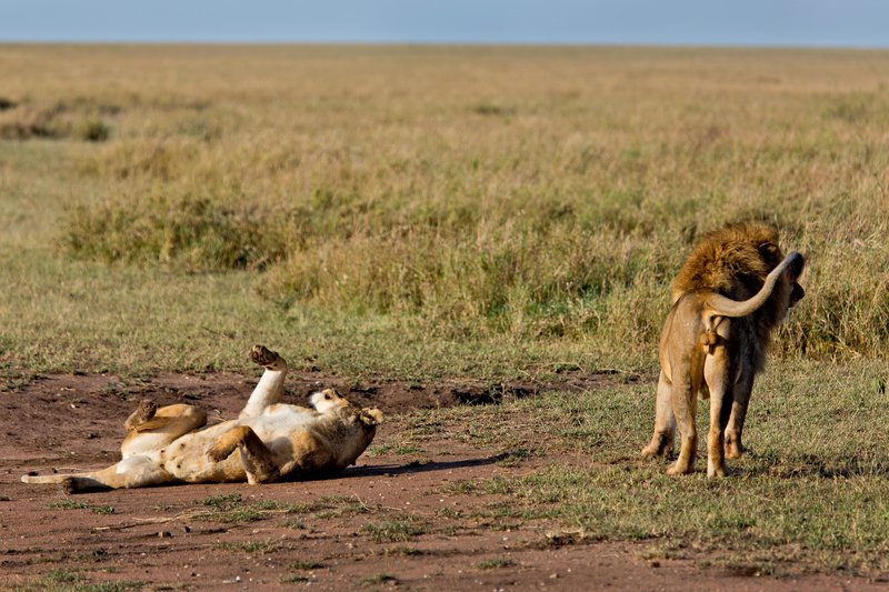 large_Lions_12-7.jpg