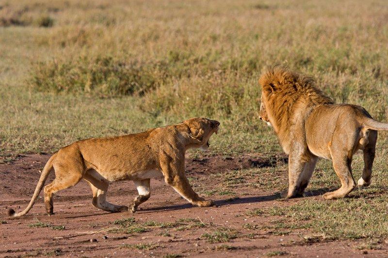 large_Lions_12-9.jpg